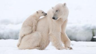 медведица, белые, снег, медвежонок