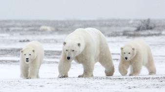 медвежата, семья, снег, белые, медведица