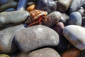 животные, крабы,  раки, рак-отшельник, галька, камни, ракушка