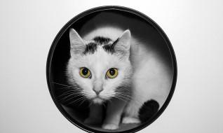 кот, белый, круг