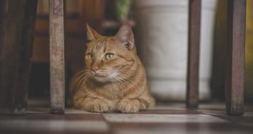 кот, рыжий, пол