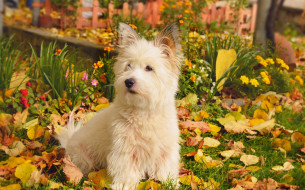 собака, трава, листья, осень, белая