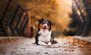 осень, листья, собака, язык, мост
