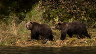 медведи, листва, осень, водоем, два, мишки, прогулка, парочка, пара, река, взгляд, трава, два медведя, бурые, берег