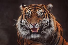 клыки, оскал, морда, портрет, пасть, темный фон, тигр, агрессия, злой, дикая кошка