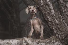 лапы, цепь, щенок, темный фон, поза, природа, морда, взгляд, веймаранер, стойка, симпатяга, стоит, кора, ствол, серая