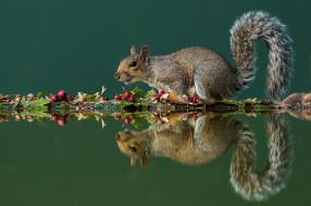 боярышник, белка, грызун, зеленый фон, осень, отражение, вода, листья, белочка, серая, плоды, ягоды, хвост, симметрия, композиция