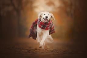 шарф, собака, осень, Золотистый ретривер, прогулка, боке, Голден ретривер