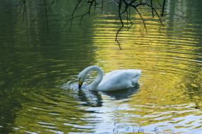 лебедь, белый, вода