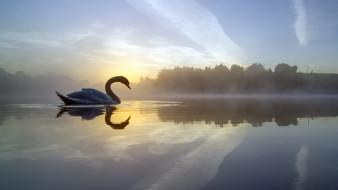 England, Failsworth, лебедь, утро, туман, отражение, Англия, Daisy Nook Country Park, Crime Lake, Фэйлзуорт, Озеро Крим, озеро, птица