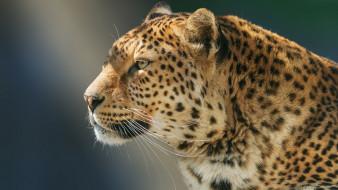 леопард, профиль, зверь