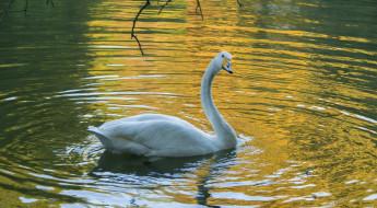 лебедь, птица, белый, вода