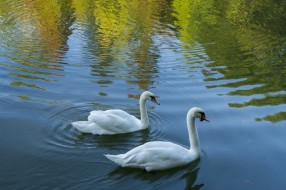 вода, белые, птицы, лебеди