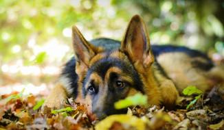 овчарка, собака, листья, осень