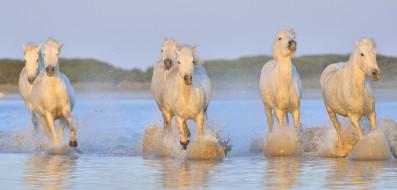 вода, брызги, лошади, белые