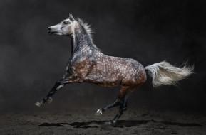 конь, песок, серый в яблоко, лошадь