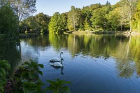 лебеди, озеро, природа, птицы, белые, вода