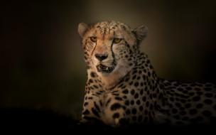 портрет, хищник, гепард, дикая кошка, фон