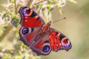 животные, бабочки,  мотыльки,  моли, бабочка