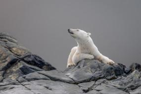 белый медведь, лежит, фон, серый, медведь, камни, поза, морда, взгляд