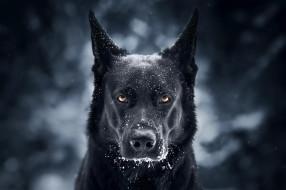 пес, черный, морда, иней