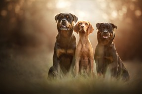 свет, поза, сидят, три, взгляд, трио, трава, дружба, фон, морды, троица, боке, природа, собаки, язык