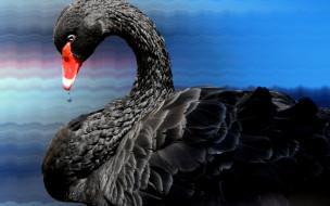 черный, лебедь, капли