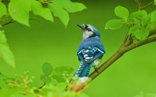 животные, сойки, дерево, ветки, птица