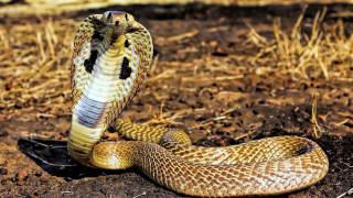 Сухая трава, кобра