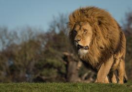 животное, грива, взгляд, природа, лев, кошка, травка