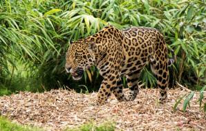 хищник, пятна, ягуар