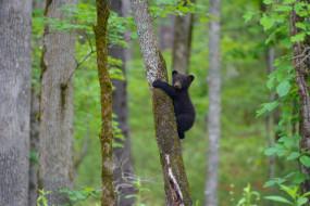 медвежонок, на дереве, барибал, деревья, лес