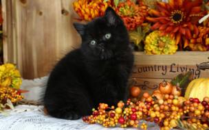 черный, котенок, ягоды, тыква, цветы, ящик