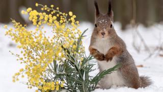 белка, снег, мимоза