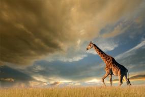 жираф, поле, тучи, облака, небо, трава, природа, солнце