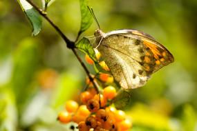 ветка, плоды, фон, бабочка, макро, ягоды, насекомое