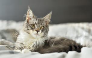 постель, серый, кот