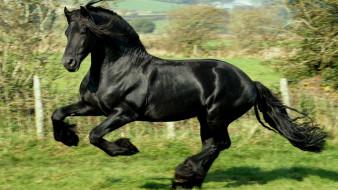 конь, галоп, загон, вороной