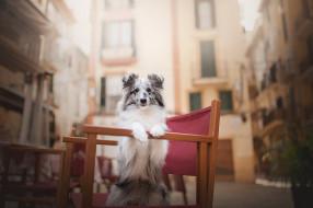 собака, шетландская овчарка, пятна, шелти, боке, стул