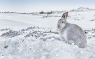 зима, снег, заяц