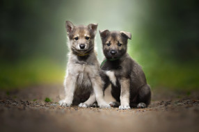 wallhaven, пара, животные, собаки, щенки