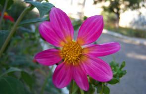 обои для рабочего стола 1920x1240 цветы, георгины, розовый
