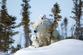 материнство, снег, зима, полярные медведи, медведица, медвежата, белые медведи