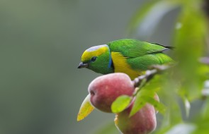 ветки, плод, птица, дерево