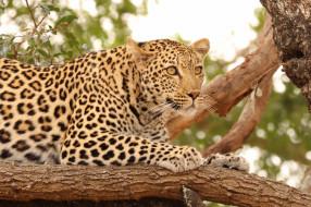 обои для рабочего стола 2048x1365 животные, леопарды, леопард, хищник, дерево, природа, кошка