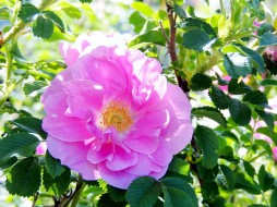 цветы, шиповник, розовый