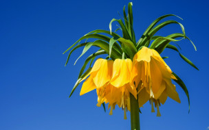цветы, рябчики, fritillaria, imperialis