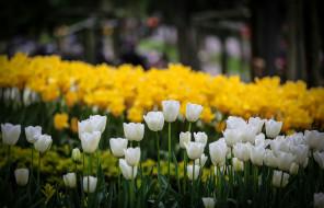 природа, тюльпаны, цветы, боке