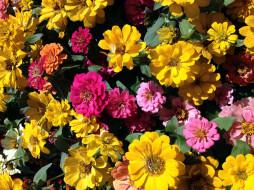 цветы, цинния, разноцветный