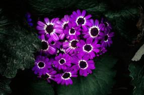 цветы, цинерария, лиловый
